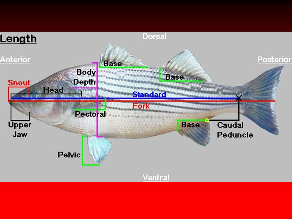 Fish Anatomy. Anatomy/Physiology Definition of terms: Anterior ...