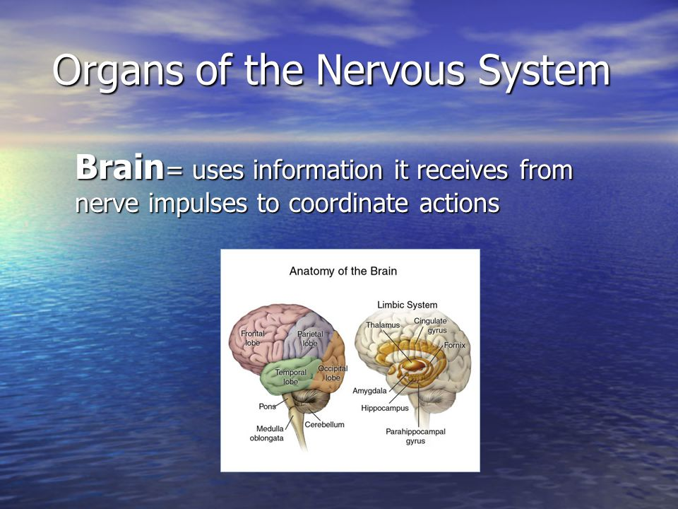 Organs of the Nervous System Brain = uses information it receives from nerve impulses to coordinate actions