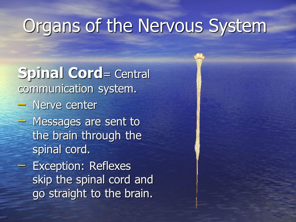 Organs of the Nervous System Spinal Cord = Central communication system.