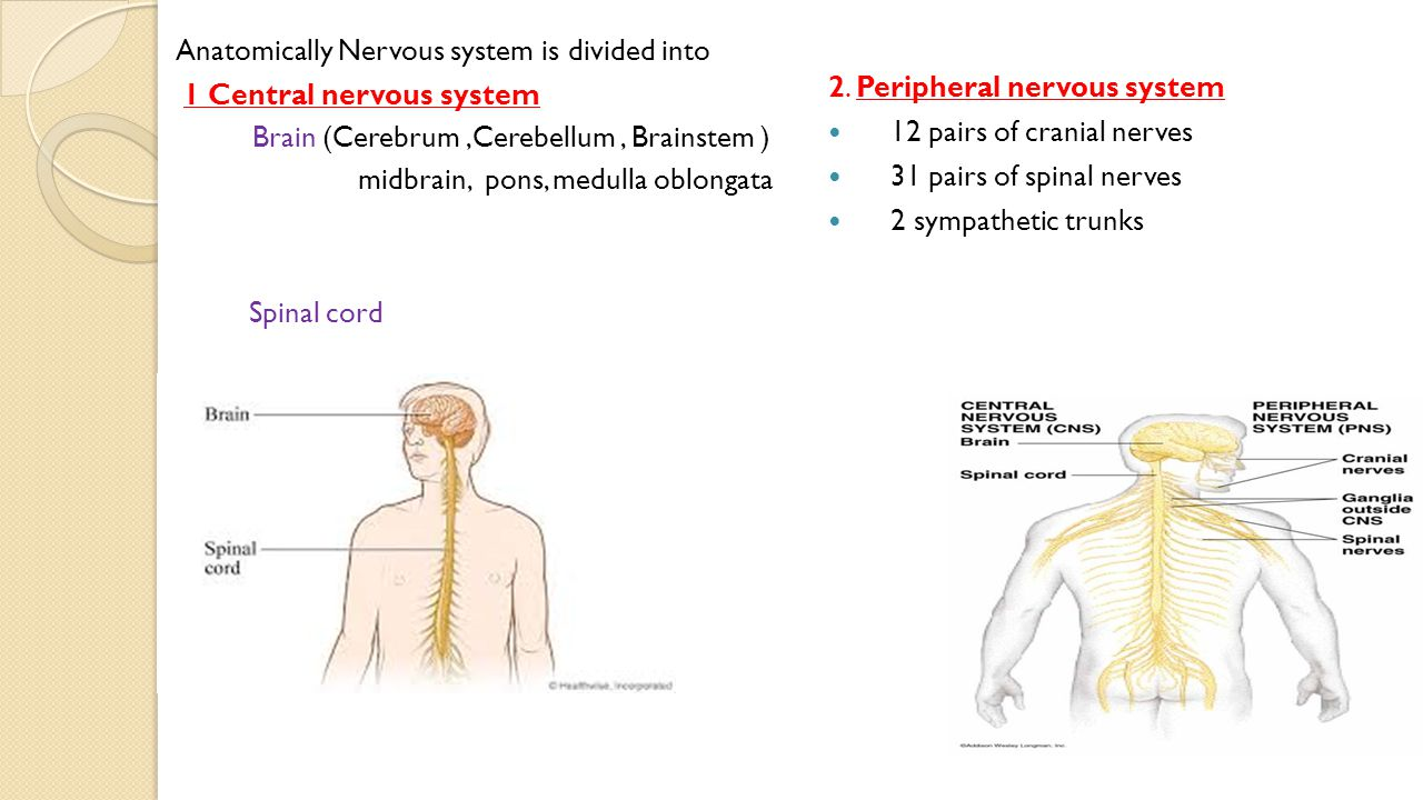 Anatomy Of Nervous System By Dr Noha Elsayed Introduction