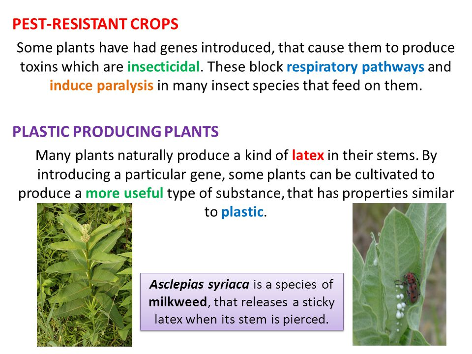 PEST-RESISTANT CROPS Some plants have had genes introduced, that cause them to produce toxins which are insecticidal.