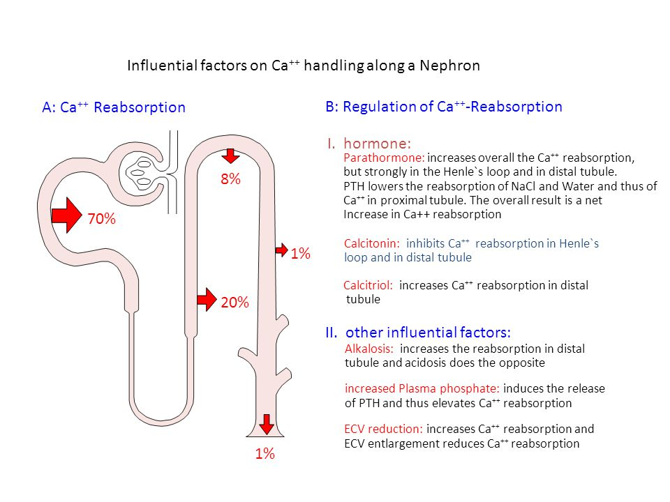 Influential factors on Ca ++ handling along a Nephron A: Ca ++ Reabsorption 8% 70% 20% 1% B: Regulation of Ca ++ -Reabsorption I.