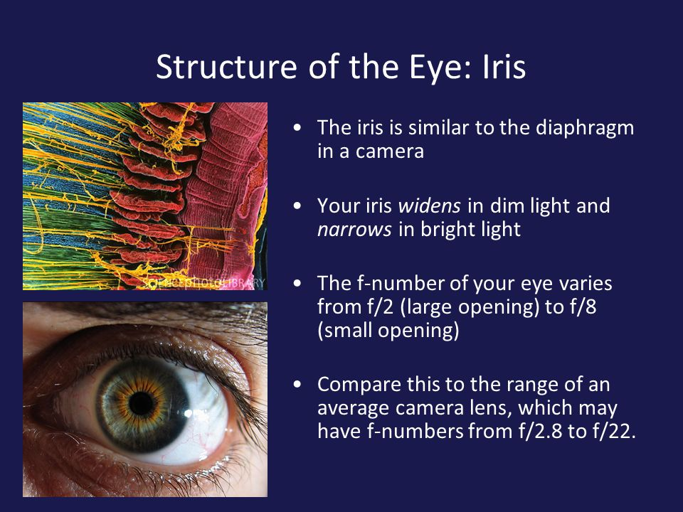 The Human Eye And Vision The Structure Of The Eye Iris Cornea