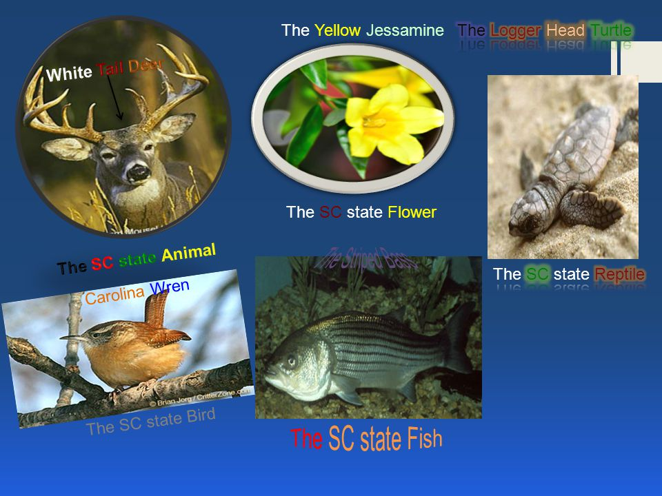 The Sc State Flower The Yellow Jessamine The Sc State Bird Carolina