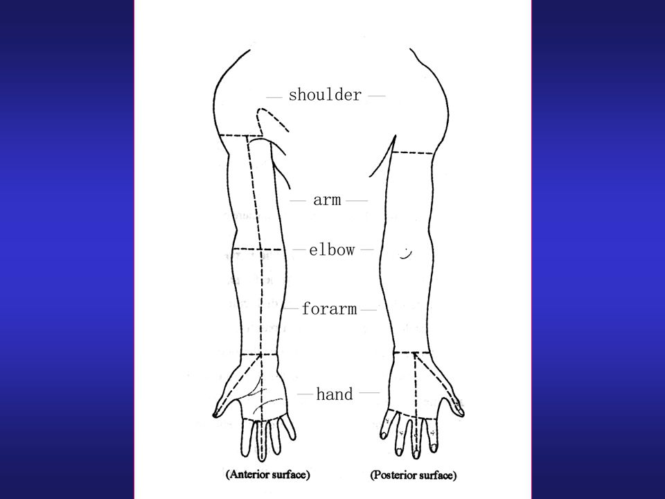 The Regional Anatomy of the Upper limb - ppt video online download