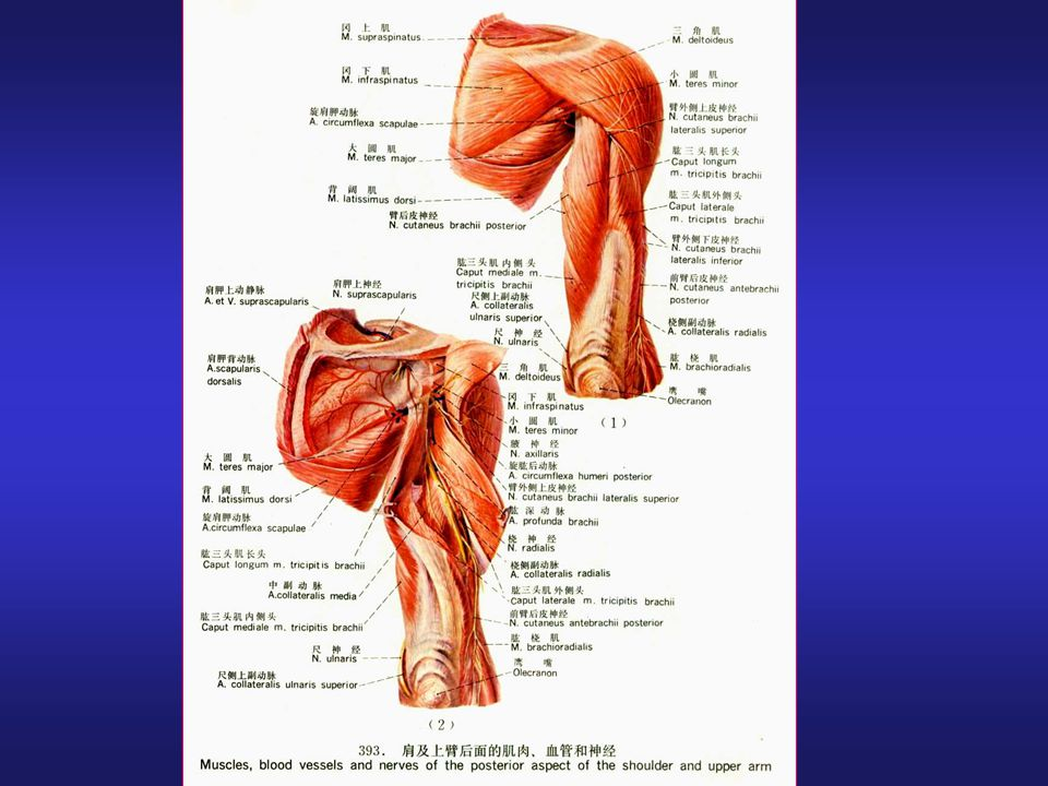 The Regional Anatomy Of The Upper Limb Ppt Video Online Download
