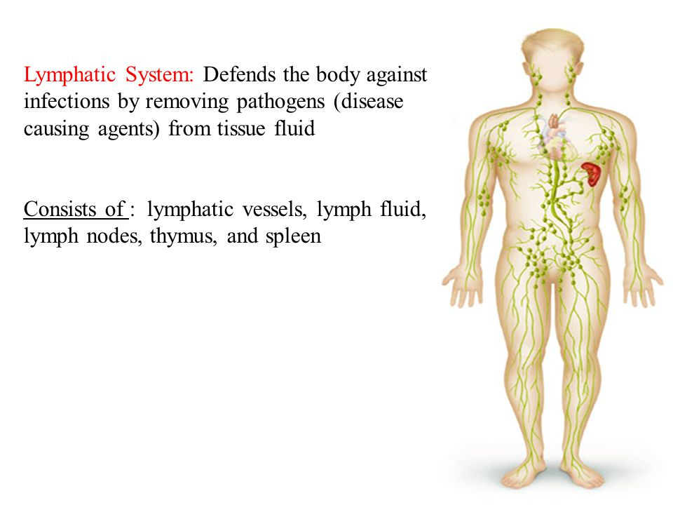 10 Lymphatic System: Defends the body against infections by removing pathogens (disease causing agents) from tissue fluid Consists of : lymphatic vessels, lymph fluid, lymph nodes, thymus, and spleen