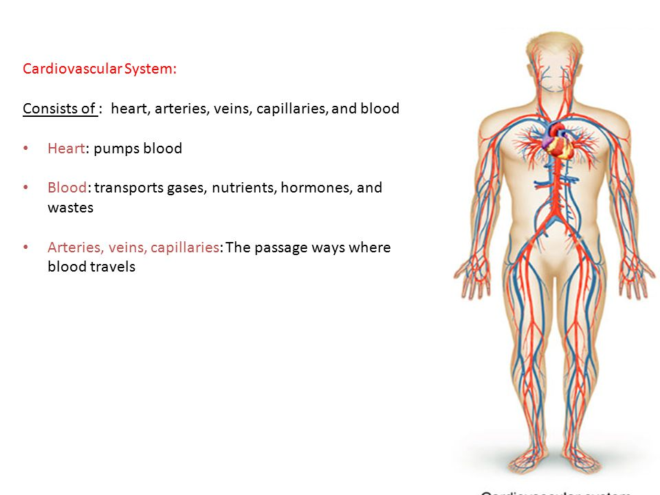 13 Cardiovascular System: Consists of : heart, arteries, veins, capillaries, and blood Heart: pumps blood Blood: transports gases, nutrients, hormones, and wastes Arteries, veins, capillaries: The passage ways where blood travels