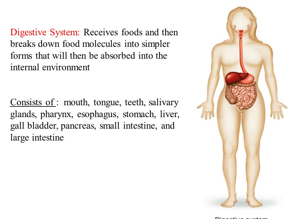 14 Digestive System: Receives foods and then breaks down food molecules into simpler forms that will then be absorbed into the internal environment Consists of : mouth, tongue, teeth, salivary glands, pharynx, esophagus, stomach, liver, gall bladder, pancreas, small intestine, and large intestine