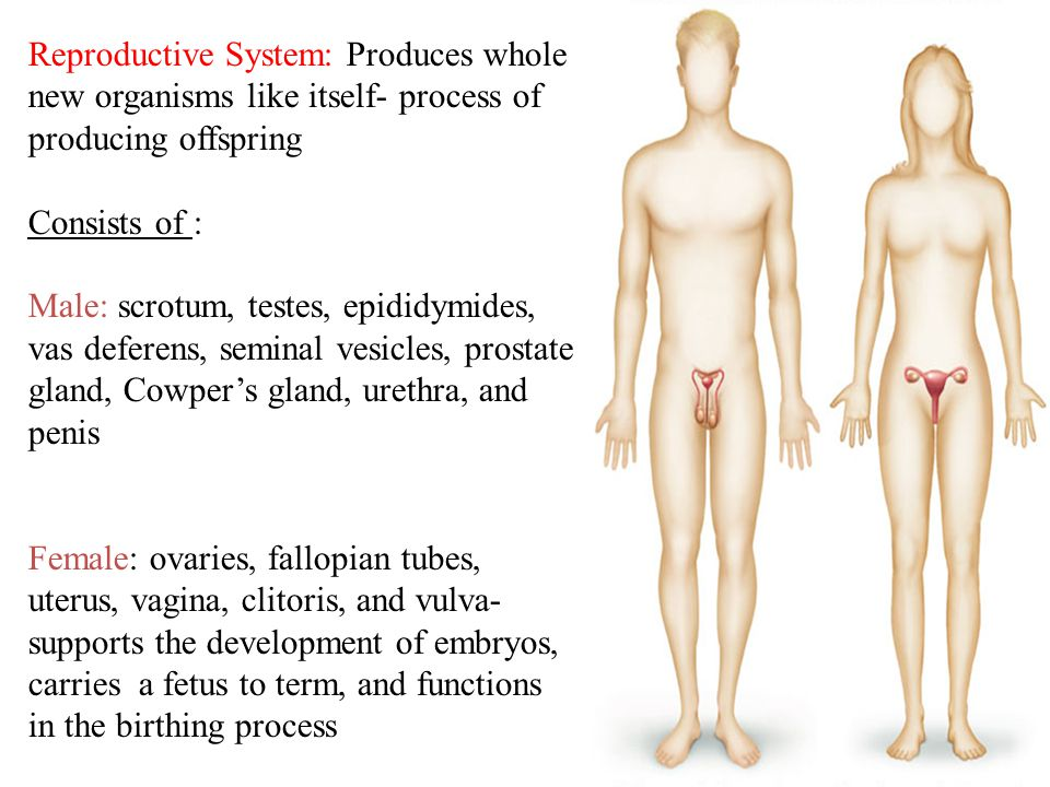 17 Reproductive System: Produces whole new organisms like itself- process of producing offspring Consists of : Male: scrotum, testes, epididymides, vas deferens, seminal vesicles, prostate gland, Cowper's gland, urethra, and penis Female: ovaries, fallopian tubes, uterus, vagina, clitoris, and vulva- supports the development of embryos, carries a fetus to term, and functions in the birthing process