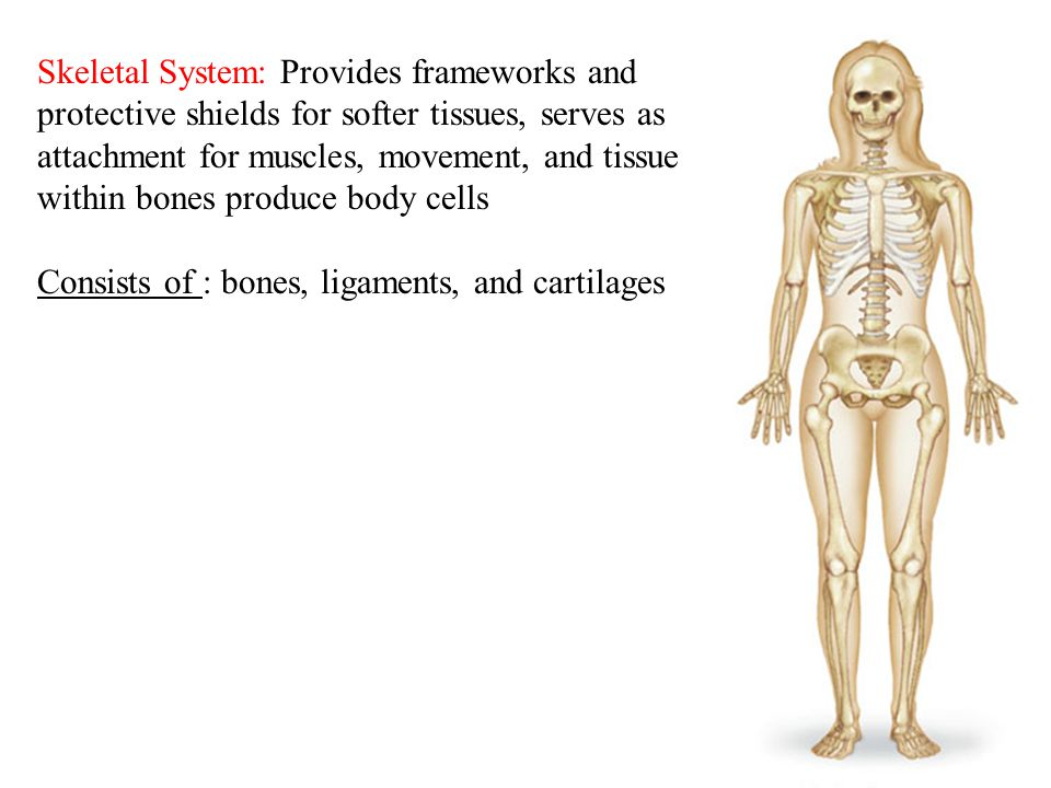 5 Skeletal System: Provides frameworks and protective shields for softer tissues, serves as attachment for muscles, movement, and tissue within bones produce body cells Consists of : bones, ligaments, and cartilages