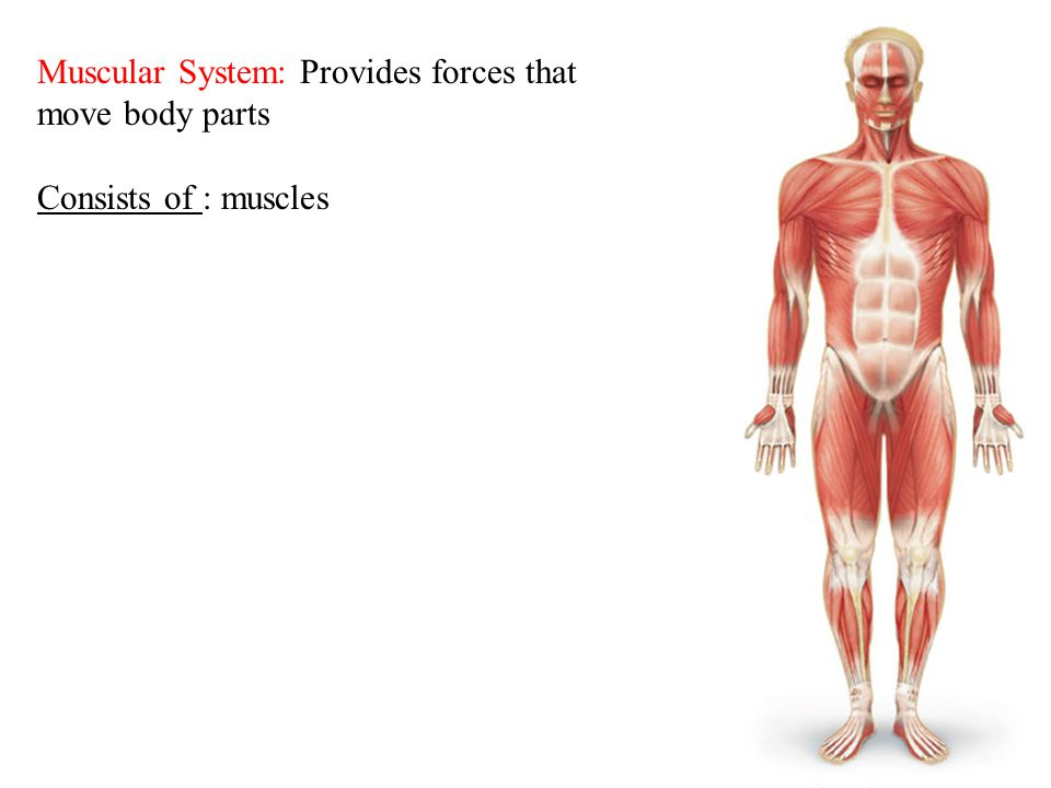 6 Muscular System: Provides forces that move body parts Consists of : muscles