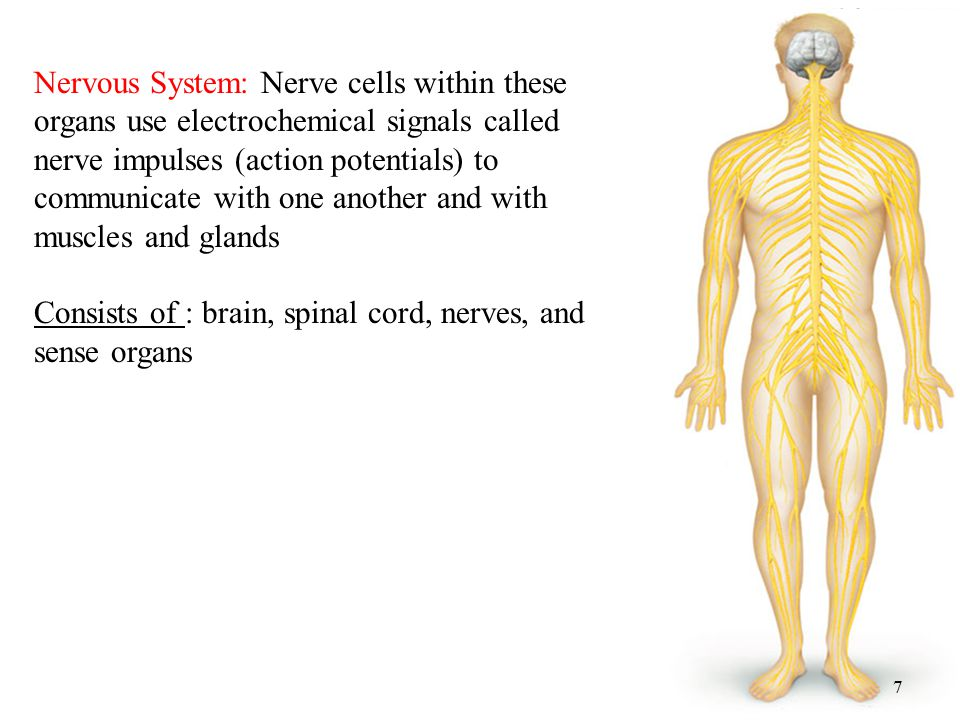 7 Nervous System: Nerve cells within these organs use electrochemical signals called nerve impulses (action potentials) to communicate with one another and with muscles and glands Consists of : brain, spinal cord, nerves, and sense organs