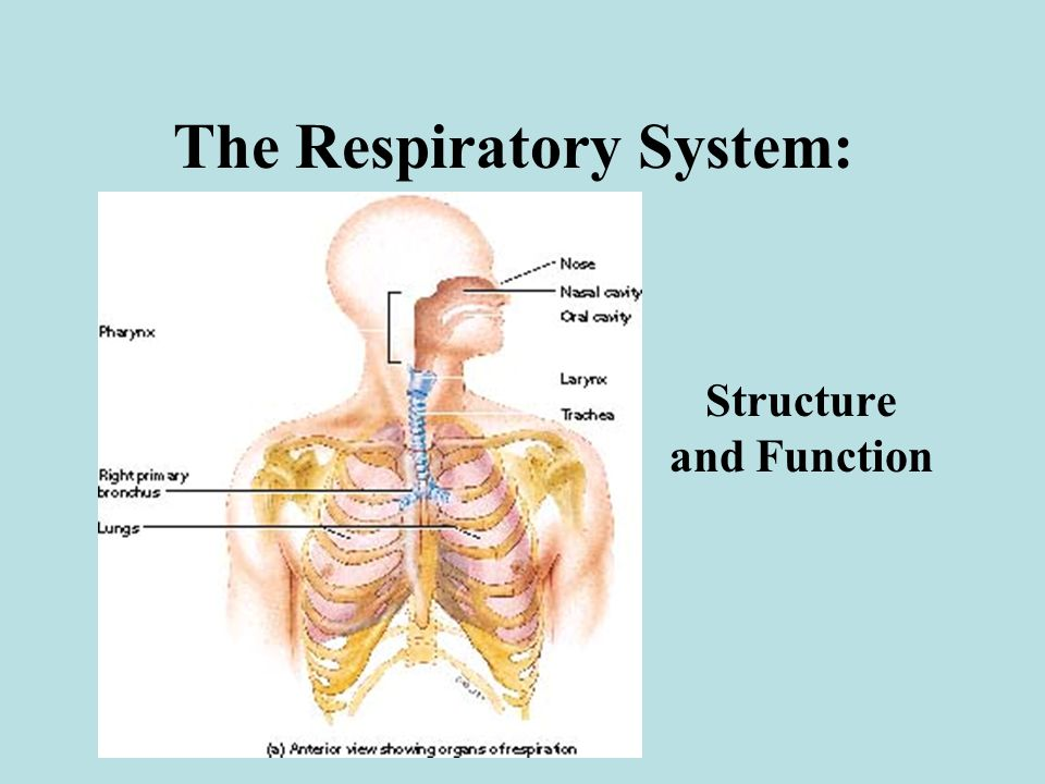The Respiratory System: Structure and Function. Overview of External ...