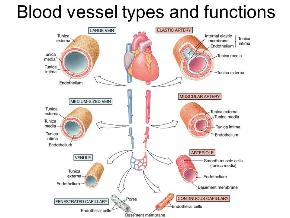 Types Of Blood Vessels Structure And Function Of Arteries Arte