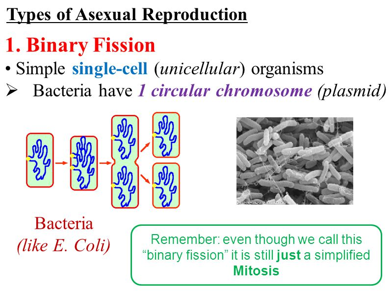 Bacteria have asexual reproduction by a process called