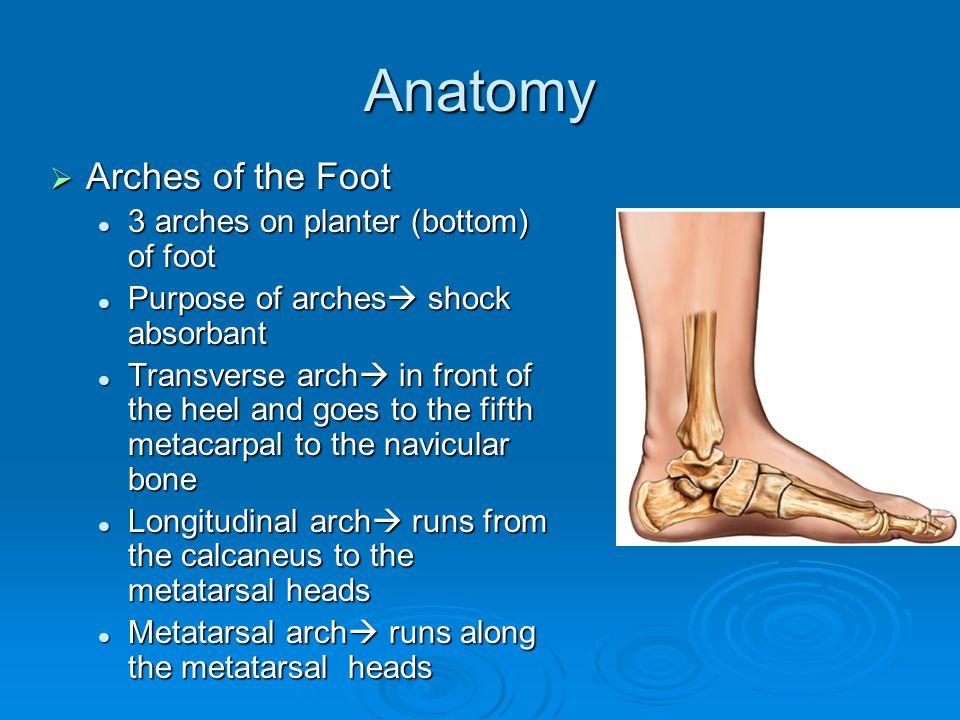 Anatomy Bones 28 Bones Called Phalanges Each Toe Has Three