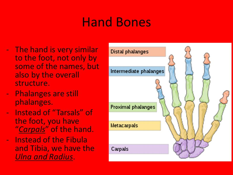 Bones of the Hand, Wrist and Forearm - Mr. Brewer. - ppt download
