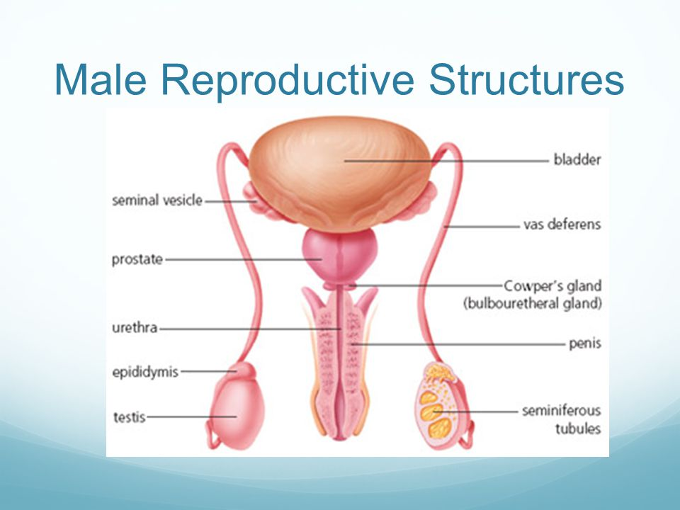 Human Reproduction Male Reproductive Structures Ppt Download