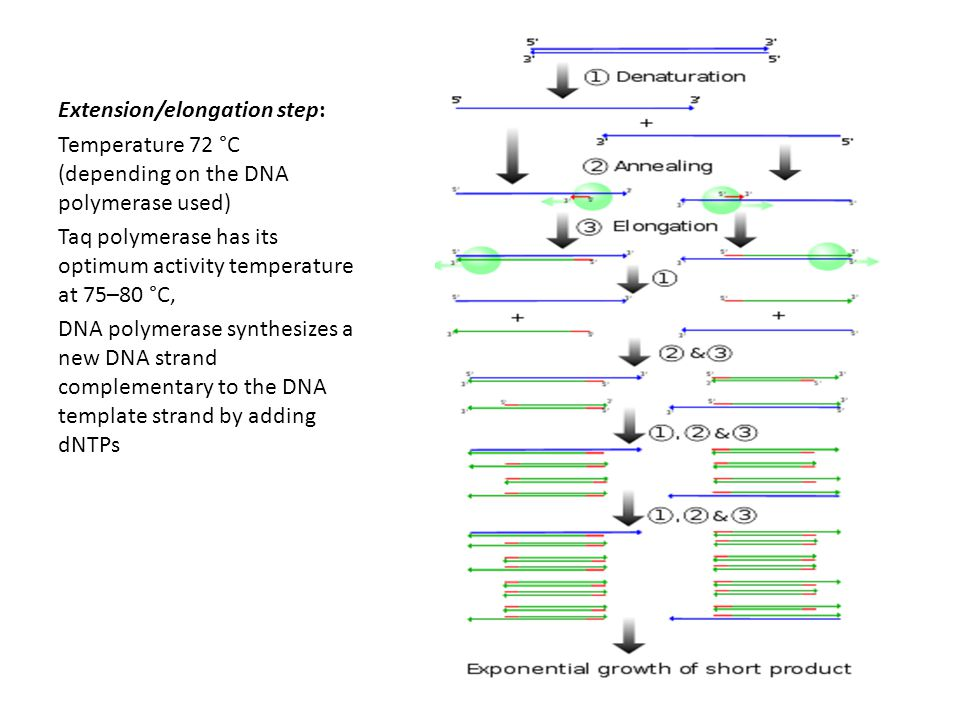 Extension/elongation step: Temperature 72 °C (depending on the DNA polymerase used) Taq polymerase has its optimum activity temperature at 75–80 °C, DNA polymerase synthesizes a new DNA strand complementary to the DNA template strand by adding dNTPs