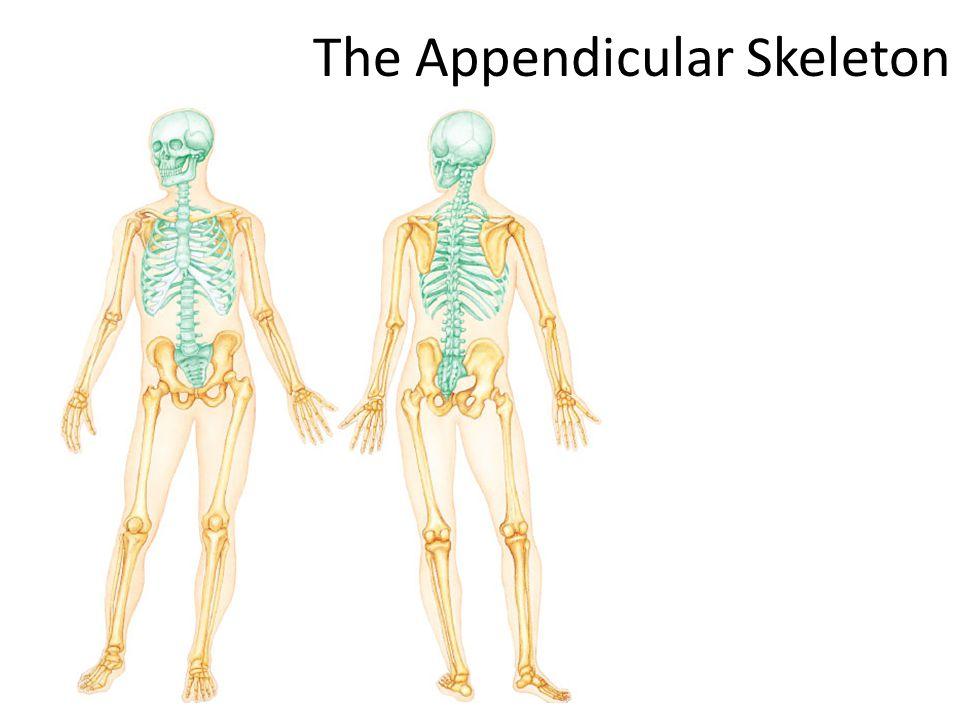 The Appendicular Skeleton The Skeletal System The Appendicular