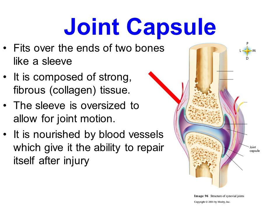 Synovial Joint Structure Joint Capsule Fits over the ends of two ...