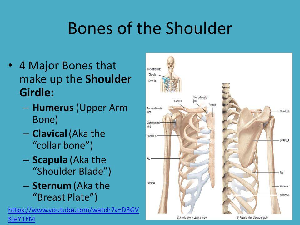 Bones of the Shoulder Girdle - Mr. Brewer. Bones of the Shoulder 4 ...