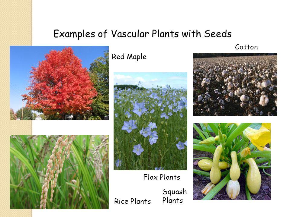 Nonvascular Plantsvascular Plants Definition Plants That Lack A