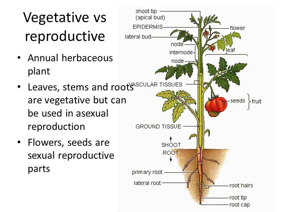 Asexual reproduction in plants rhizomes hop