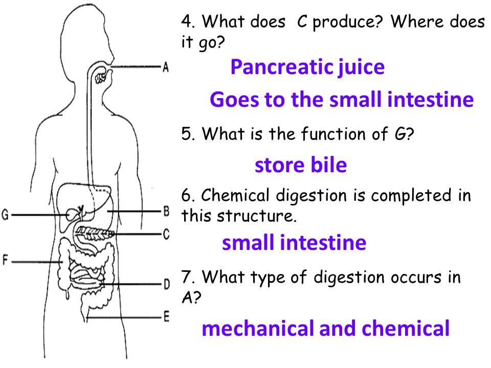 Digestive System Review Identify Each Structure Labeled In The