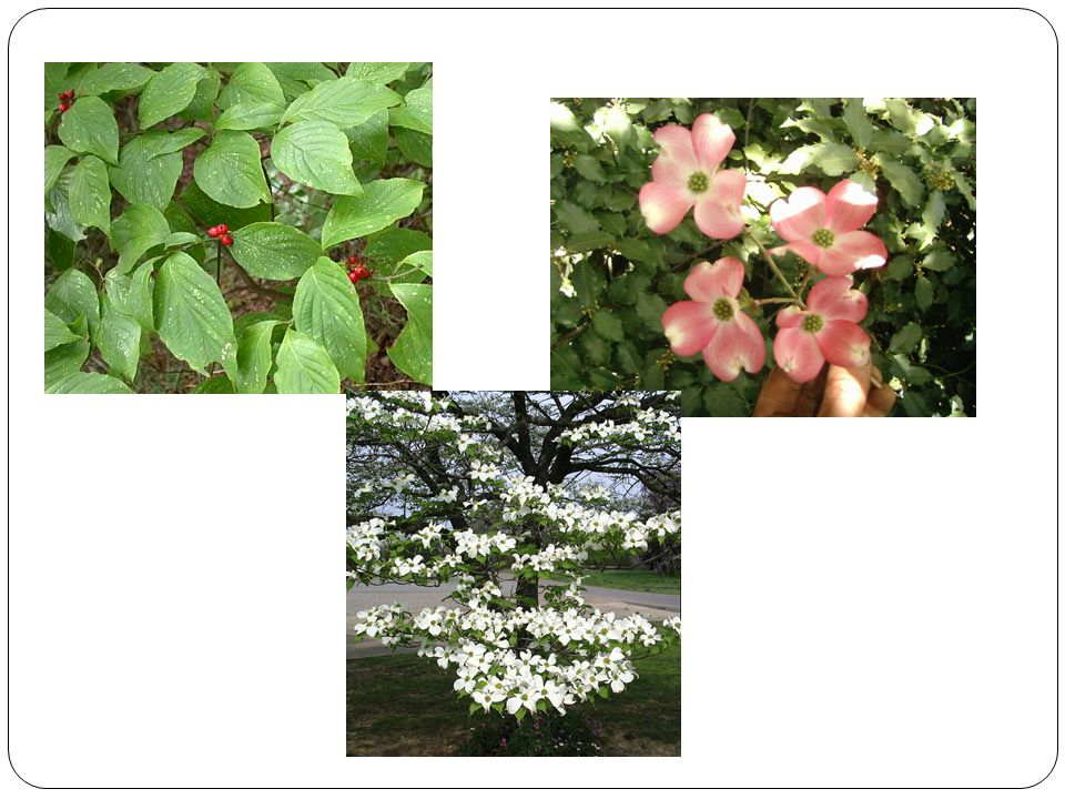 Plant identification trees i ppt video online download cn japanese flowering cherry small deciduous tree flower double pink showy large clumps leaves 3 5 shiny vase shape w spreading crown mightylinksfo