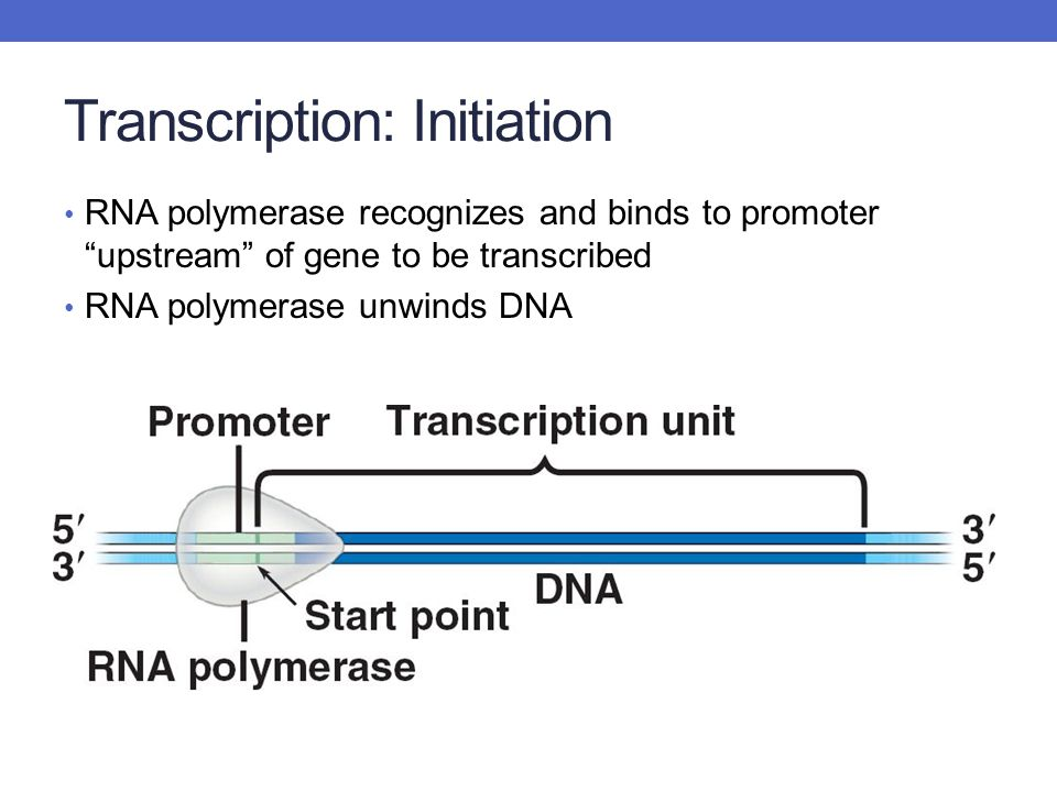 Transcription: Initiation RNA polymerase recognizes and binds to promoter upstream of gene to be transcribed RNA polymerase unwinds DNA