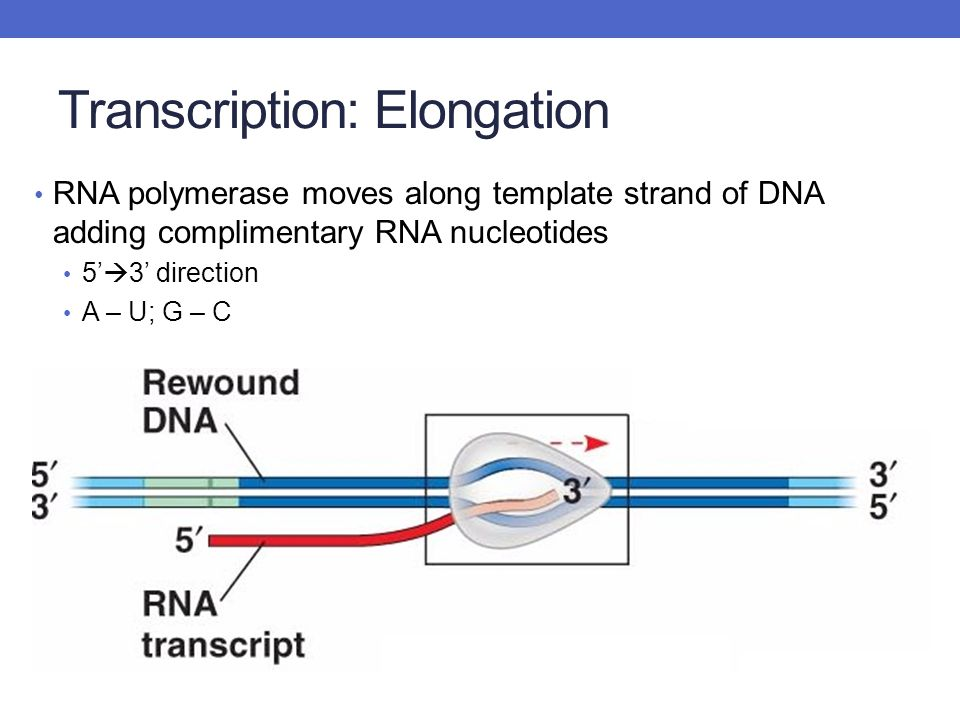 Transcription: Elongation RNA polymerase moves along template strand of DNA adding complimentary RNA nucleotides 5'  3' direction A – U; G – C