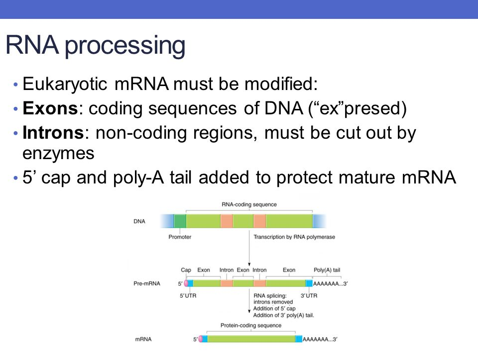 RNA processing Eukaryotic mRNA must be modified: Exons: coding sequences of DNA ( ex presed) Introns: non-coding regions, must be cut out by enzymes 5' cap and poly-A tail added to protect mature mRNA