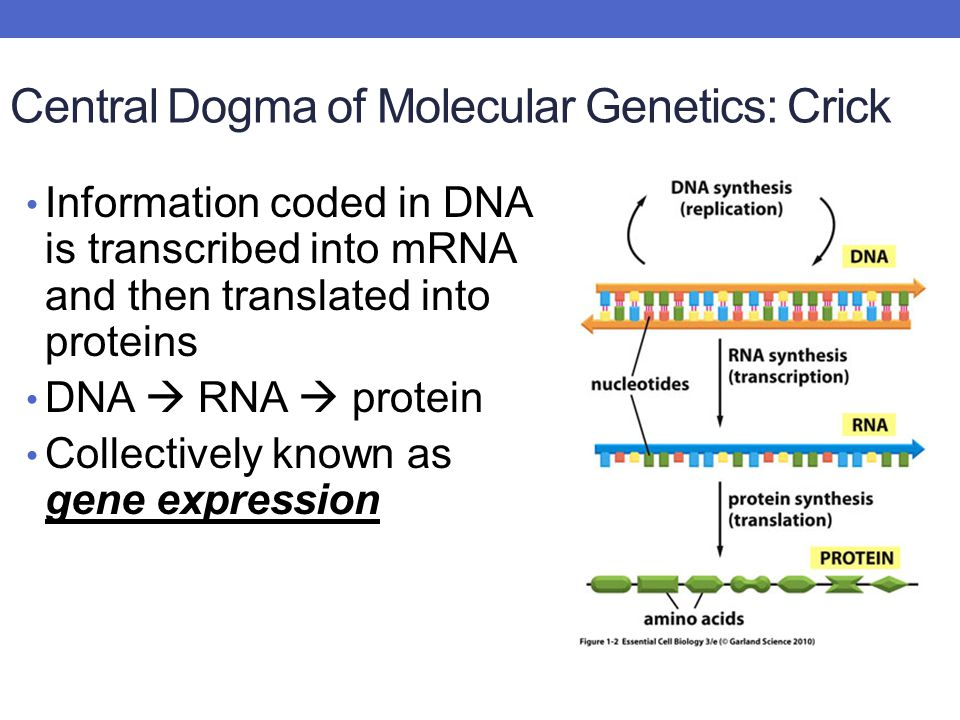 Central Dogma of Molecular Genetics: Crick Information coded in DNA is transcribed into mRNA and then translated into proteins DNA  RNA  protein Collectively known as gene expression