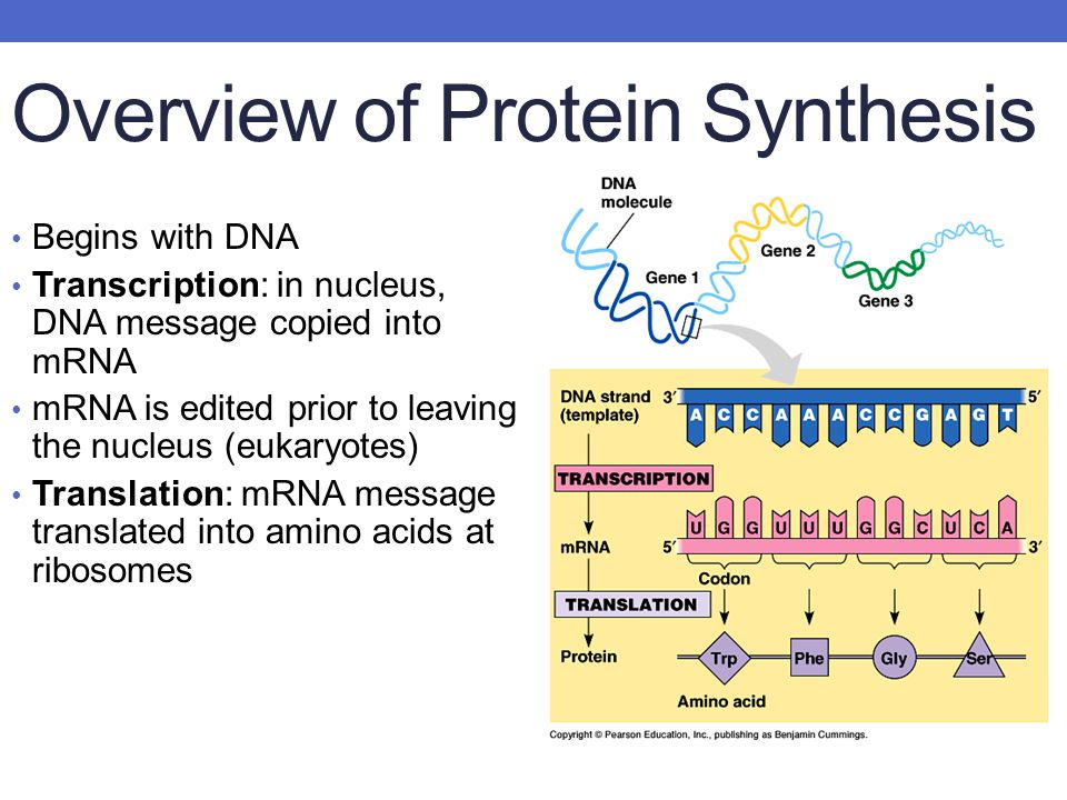 Overview of Protein Synthesis Begins with DNA Transcription: in nucleus, DNA message copied into mRNA mRNA is edited prior to leaving the nucleus (eukaryotes) Translation: mRNA message translated into amino acids at ribosomes