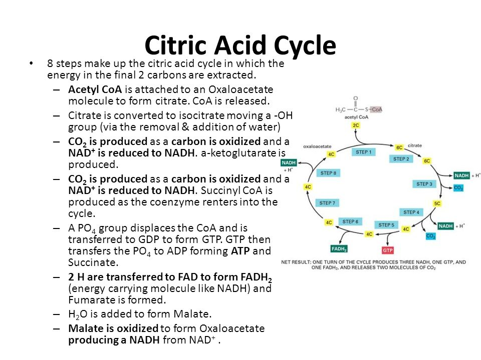 Citric Acid Cycle 8 steps make up the citric acid cycle in which the energy in the final 2 carbons are extracted.