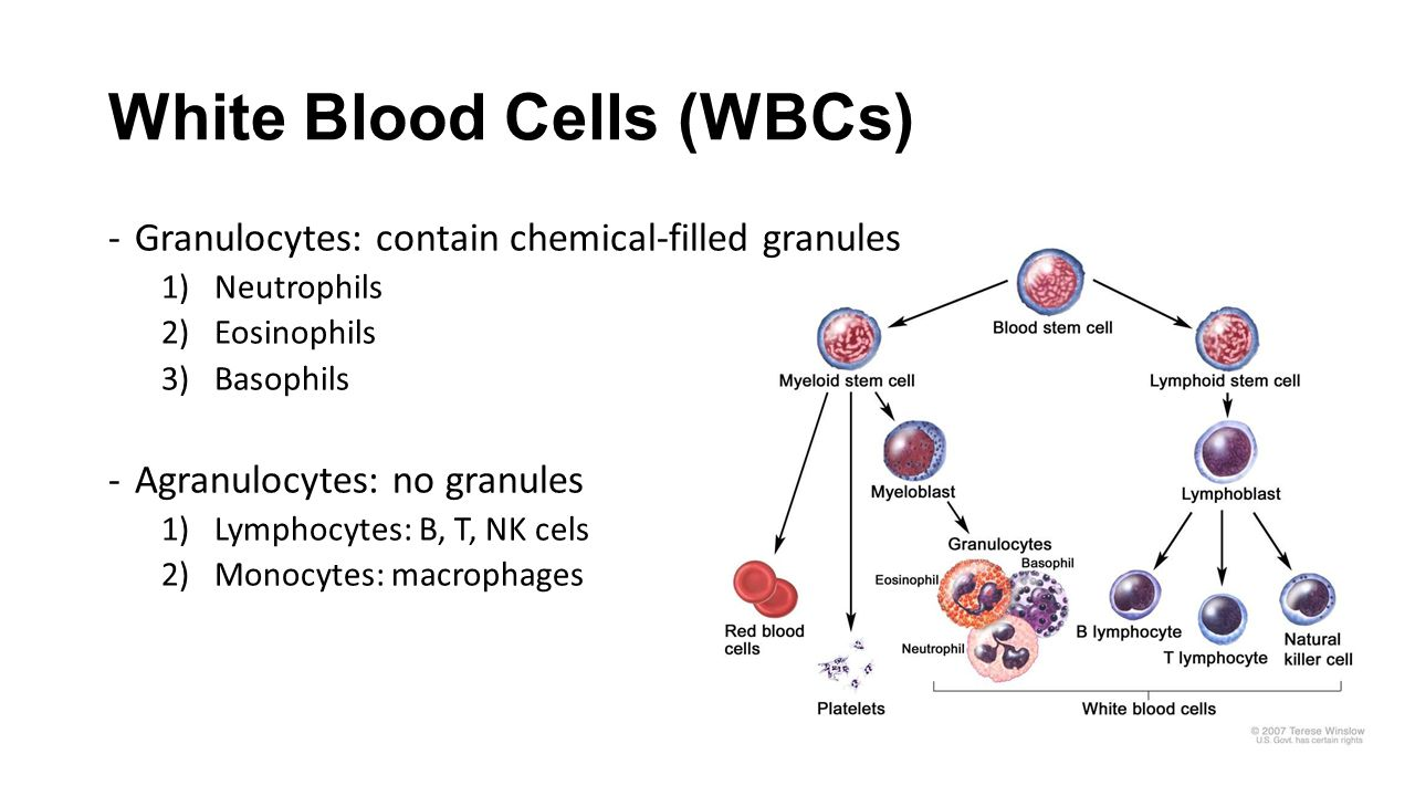 Remarkable Chapter 14 2 White Blood Cells And Platelets White Blood Cells Wiring Database Liteviha4X4Andersnl