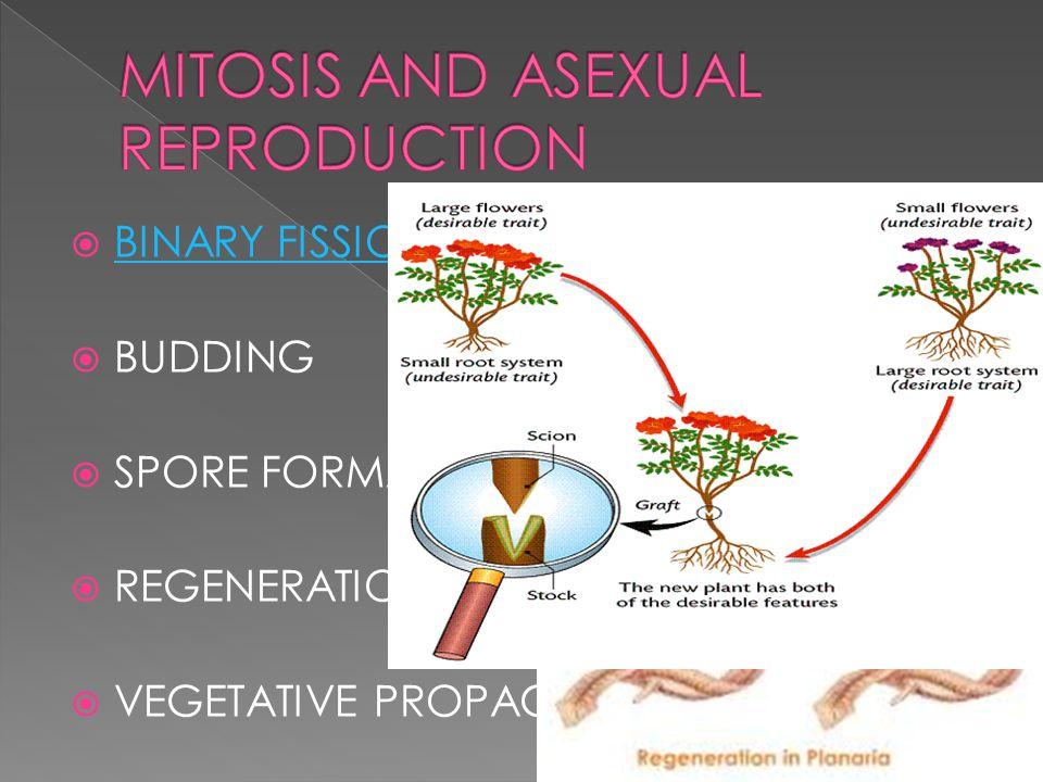 Define spore asexual reproduction regeneration