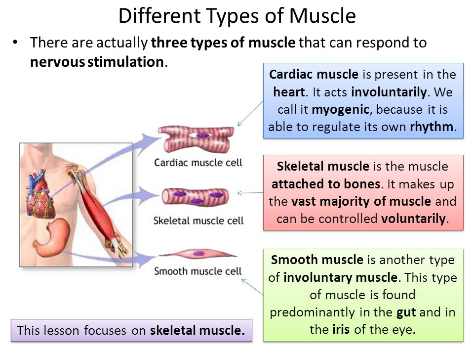 ultrastructure of striated muscle