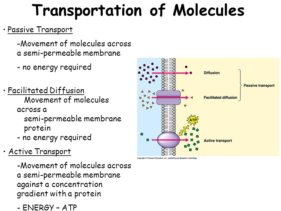 Transportation of Molecules Passive Transport -Movement of molecules across a semi-permeable membrane - no energy required Facilitated Diffusion Movement of molecules across a semi-permeable membrane protein - no energy required Active Transport -Movement of molecules across a semi-permeable membrane against a concentration gradient with a protein - ENERGY – ATP