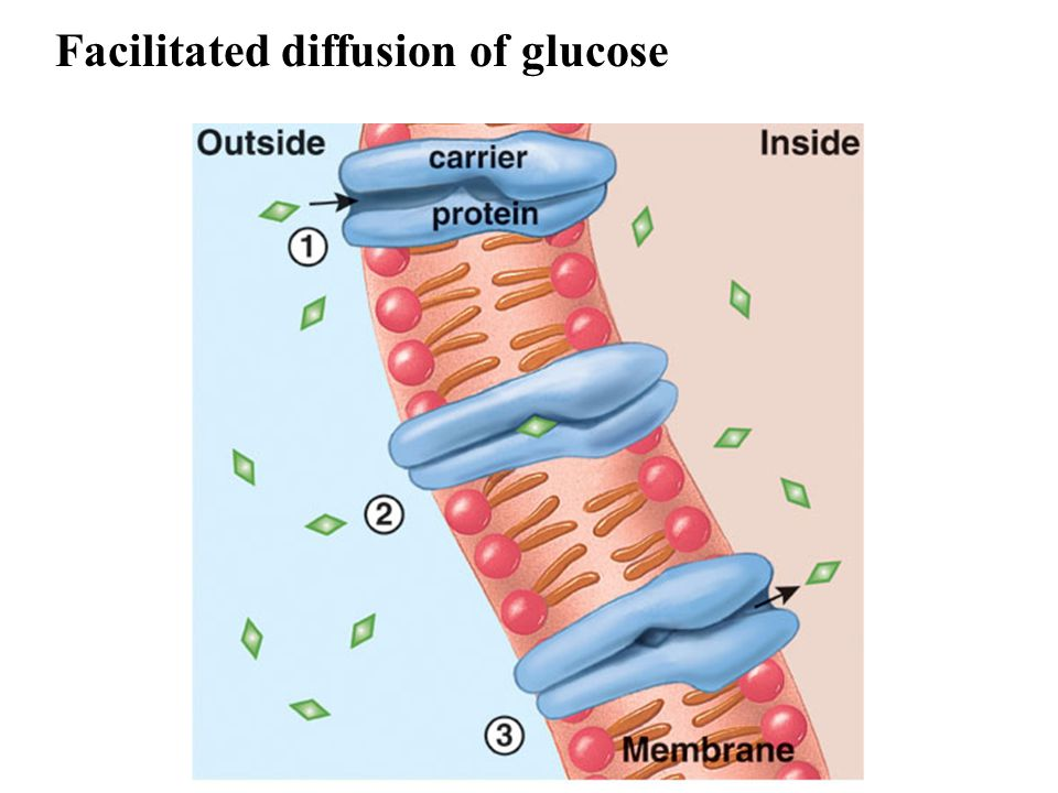 Facilitated diffusion of glucose