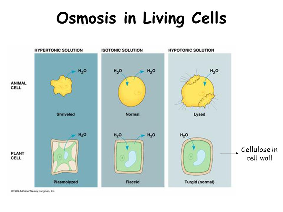 Osmosis in Living Cells Cellulose in cell wall