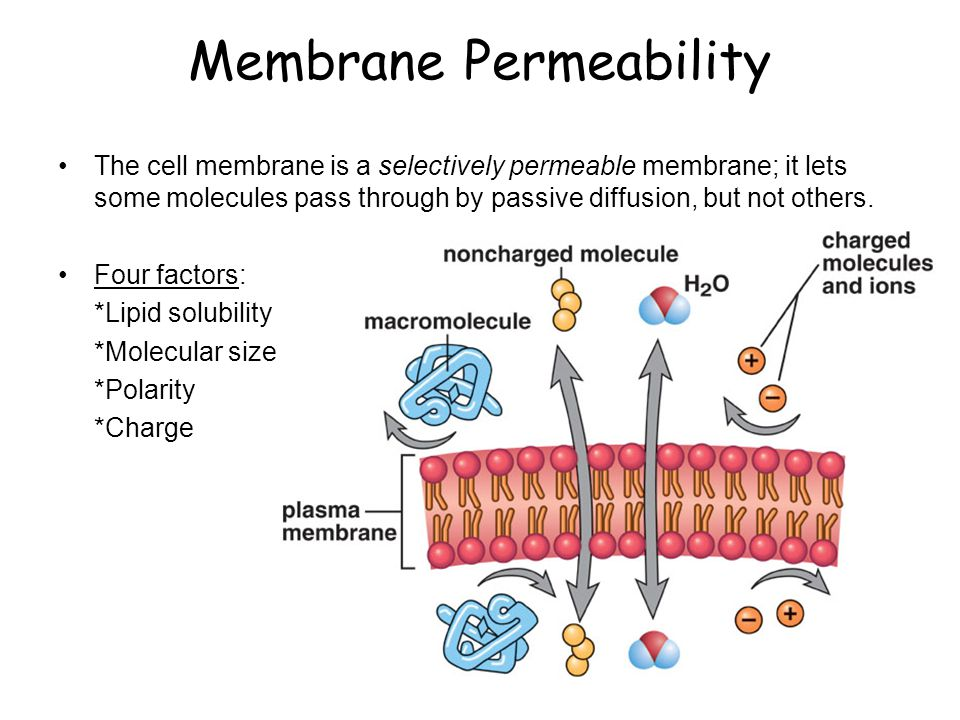 Membrane Permeability The cell membrane is a selectively permeable membrane; it lets some molecules pass through by passive diffusion, but not others.