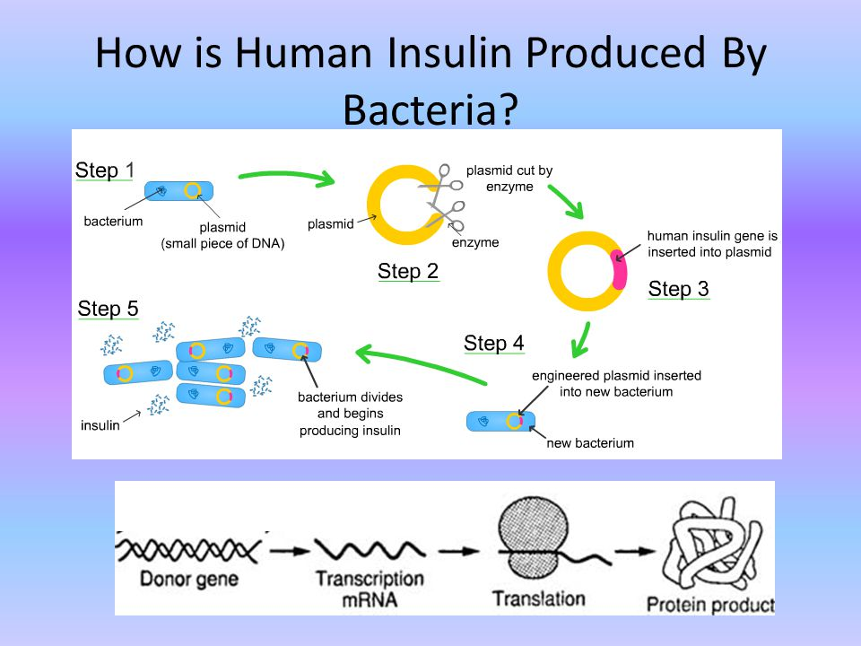 How is Human Insulin Produced By Bacteria