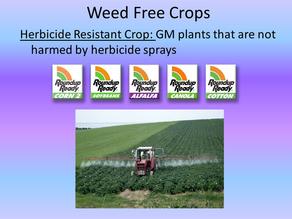 Weed Free Crops Herbicide Resistant Crop: GM plants that are not harmed by herbicide sprays