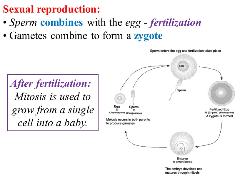 producing the male gametes and carries biology essay Gametes (sperm and eggs)  carries an x chromosome  biology we use the 005 (5%) probability level as our critical value a.