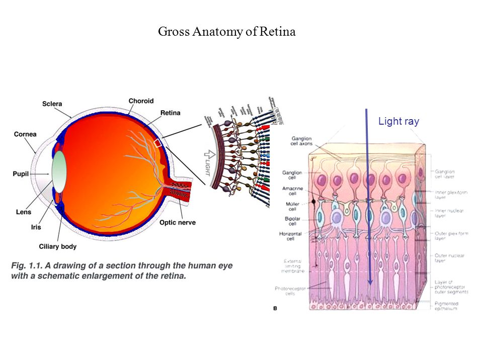 LECTURE 17: VISION--ORGANIZATION AND FUNCTION OF RETINA REQUIRED ...