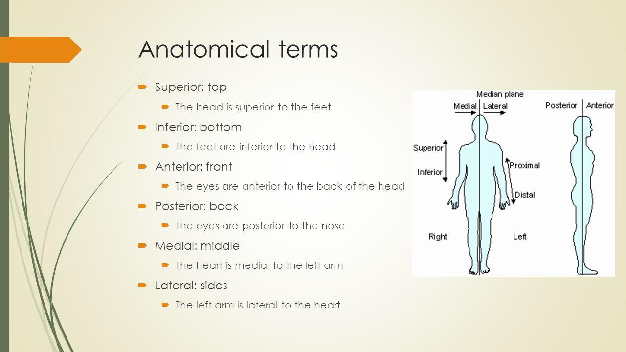Anatomy and Physiology By: Gabriela Alvarez. The Human Body  Human ...