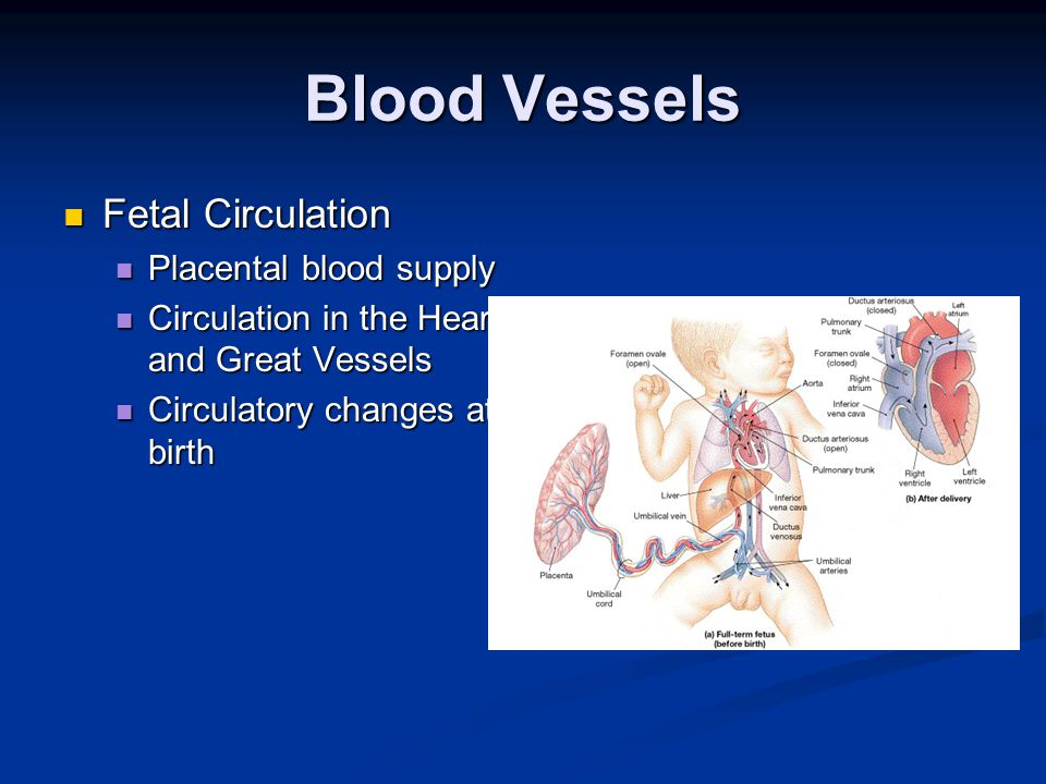 Anatomy and physiology for emergency care chapter 14 blood vessels 32 blood vessels fetal circulation fandeluxe Choice Image